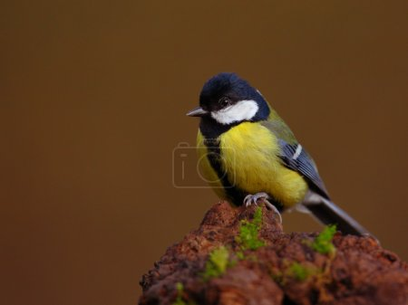 Great tit (Parus major) sitting on the branch