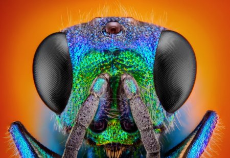 Photo for Extreme sharp and detailed study of 6 mm Cuckoo wasp (Holopyga generosa) taken with 10x microscope objective stacked from many shots into one very sharp photo. - Royalty Free Image