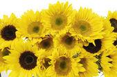 Slunečnice izolované slunečnice izolovaných na bílém