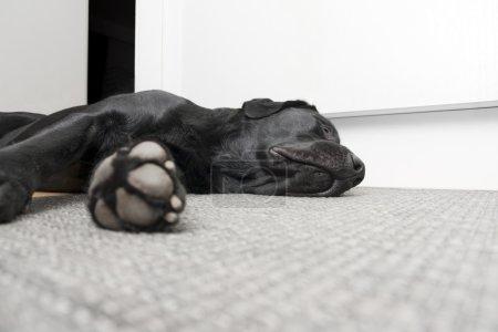 Photo pour Retriever du labrador détendu dort sur le tapis avec énorme pion tendue - image libre de droit