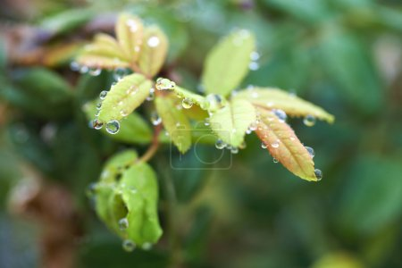 Photo for Water drops on leaves after early morning rain - Shallow Depth of Field, focus on front raindrops - Royalty Free Image