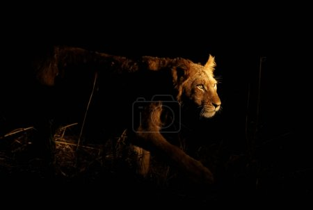 Young lioness stalking her prey on a night hunt