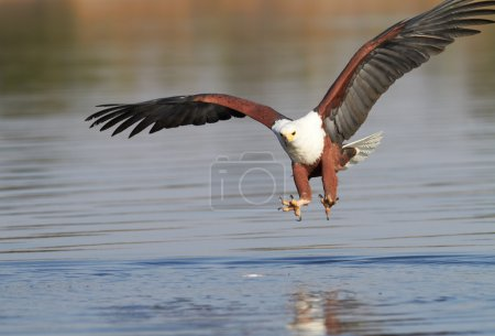 Fish eagle attempting to catch a fish