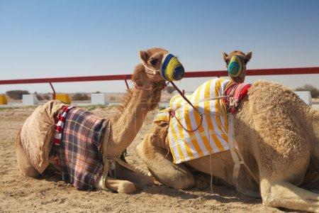 Photo pour Robot contrôlait les courses de chameaux dans le désert du Qatar, au Moyen-Orient, par une journée ensoleillée. Courses de chameaux se réchauffant au soleil du matin sur l'hippodrome - image libre de droit