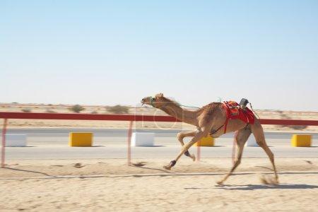 Racing camels warming up
