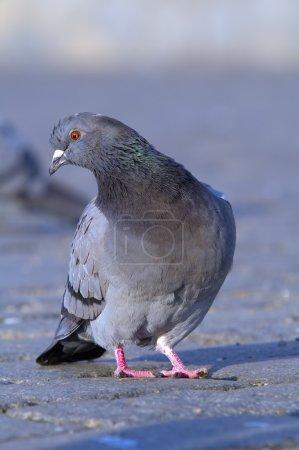 Photo pour Rock debout de pigeon sur chaussée fixement sideway - image libre de droit