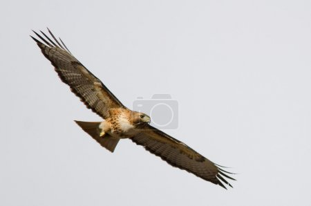 Photo pour Flight picture of a red-tailed hawk with a clear sky background, taken in Colorado. - image libre de droit