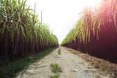 Cukrová třtina rostliny