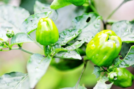 Photo for Green pepper growing close up - Royalty Free Image