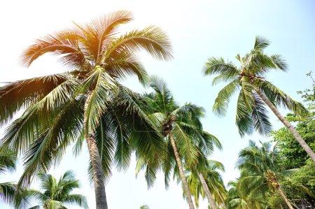 Photo pour Beaux palmiers avec des fruits contre ciel bleu ensoleillé - image libre de droit