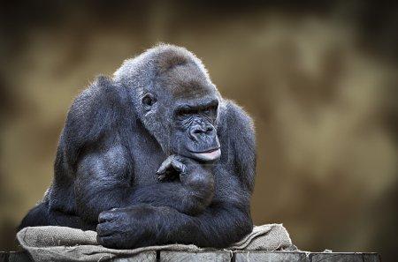 Photo pour Portrait du gorille mâle silverback - image libre de droit