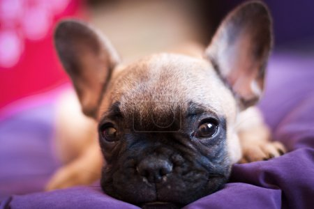Small French bulldog, puppy
