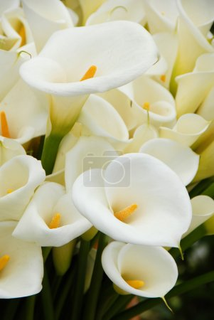 Calla lily flower blooming in spring...