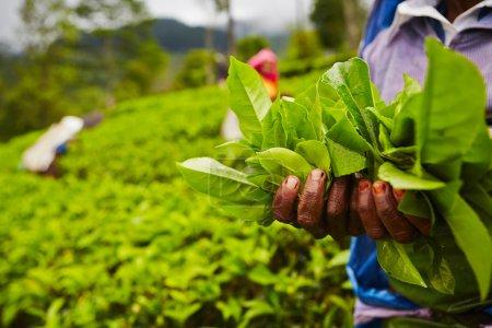 Photo pour Mains de femmes provenant des plantations de thé - sri lanka - image libre de droit