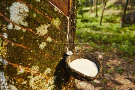 Photo pour Captage de la sève de l'arbre à caoutchouc au Sri Lanka - image libre de droit