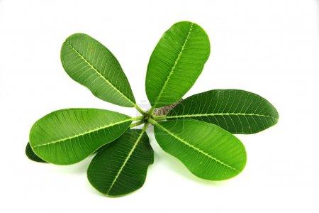 Photo pour Feuilles vertes du frangipani sur fond blanc . - image libre de droit