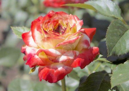 Bardovaya, Grew, Red, Buds, Rosa, Red roses, Buket...