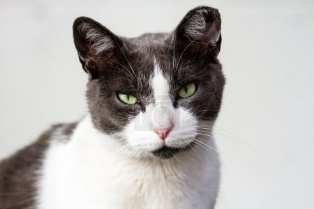 Gray and White Adult Cat