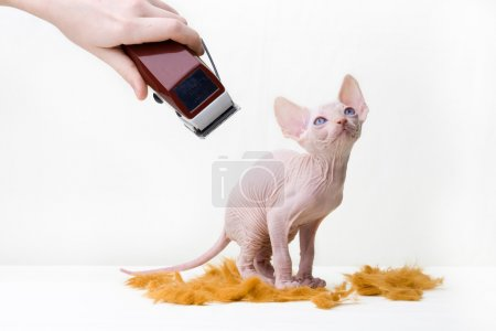 Sphinxes, sphinx kittens, kittens, kittens playing, studio shot, Egyptian kittens, hairless kittens, funny, playful, pampered, cats haircuts, haircut