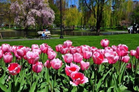Boston city from tulips garden