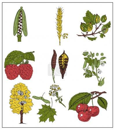 Illustration pour Ensemble de baies, grains et haricots isolés sur blanc. Illustration vectorielle - image libre de droit