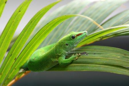 Gecko reptile, Phelsuma madagascariensis....