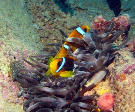 Red Sea clown fish