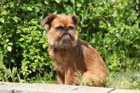 Photo for Young Brussels Griffon in front of green background - Royalty Free Image