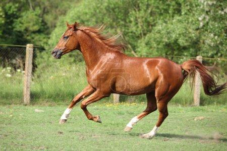 Nice chestnut arabian horse running in paddock