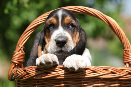 Adorable puppy of basset hound in a basket