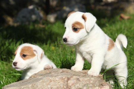 Photo pour Superbes chiots de Jack Russell Terrier dans le jardin - image libre de droit