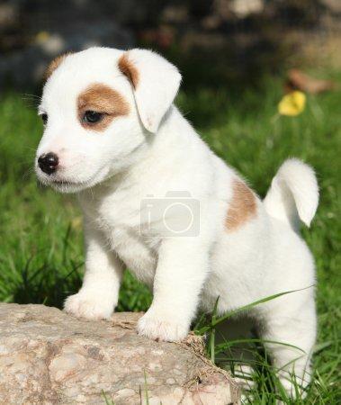 Photo pour Adorable chiot Jack Russell Terrier debout dans le jardin - image libre de droit