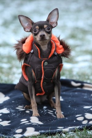 Nice prague ratter with dog clothes in winter