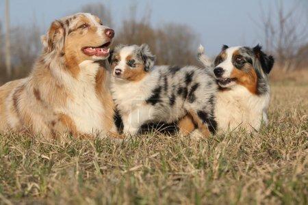 beau chien de Berger australien avec ses chiots