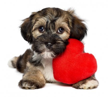 Photo for A cute lover valentine havanese puppy dog with a red heart, isolated on white background - Royalty Free Image