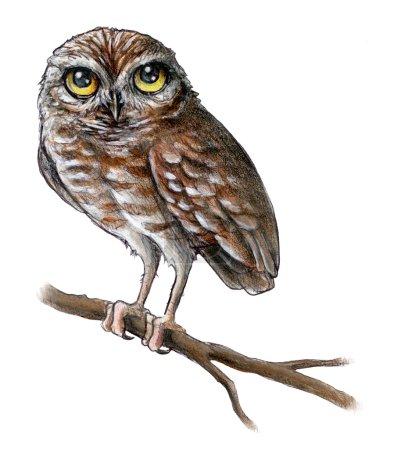 Baby Owl