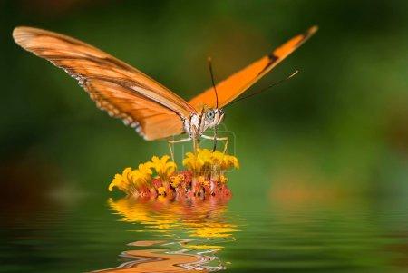 Dryas julia butterfly