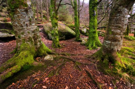 Photo pour Forêt irlandaise en hiver avec des arbres pleins de lichen en attente pour les lutins - image libre de droit
