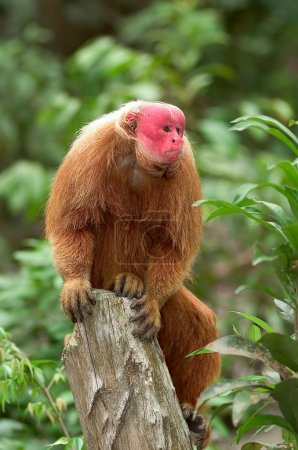 Photo for Red Uakari monkey, a very endangered species, Amazon rainforest - Royalty Free Image