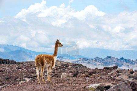 Photo pour Vicuna (Vicugna vicugna) ou vicugna est un camélidé sauvage d'Amérique du Sud, qui vit dans les hautes régions alpines des Andes. C'est un parent du lama. Andes du centre de l'Équateur - image libre de droit