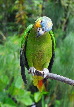 Photo pour Perroquet dans la forêt tropicale perché sur une branche. Amazona festiva est une espèce de perroquet de la famille des Psittacidae. On le trouve au Brésil, en Colombie, en Équateur, en Guyane, au Pérou et au Venezuela . - image libre de droit