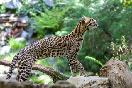 Photo pour Ocelot (leopardus paralis), peint léopard. - image libre de droit