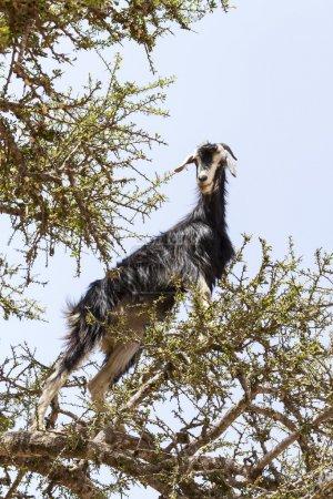 Photo pour Chèvres, manger des fruits de l'arganier - image libre de droit