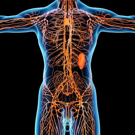 Photo pour Système lymphatique - vue de face - image libre de droit
