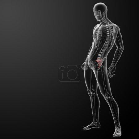 3d render illustration sacrum bone