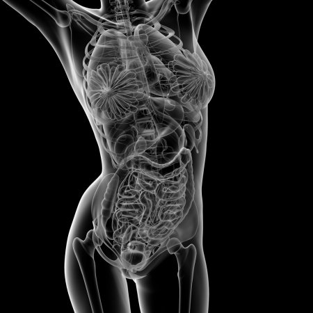 Photo for 3d rendered illustration of the female anatomy - front view - Royalty Free Image