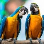 Постер, плакат: A pair of parrots