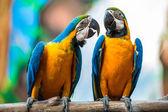 """Постер, картина, фотообои """"пара попугаев"""""""