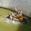 Постер, плакат: Two tigers fighting in the water