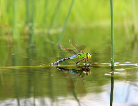 Dragonfly with reflection in the water